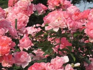 茨城県フラワーパークの綺麗なバラ