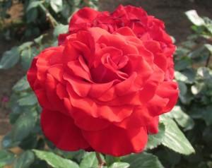 茨城県フラワーパークの美しいバラ