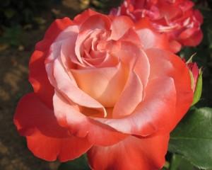 茨城県フラワーパークのバラのアップ