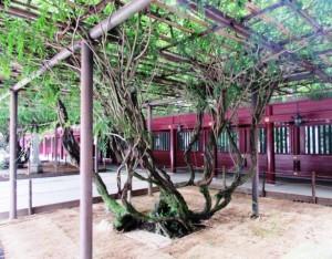 笠間稲荷八重の藤