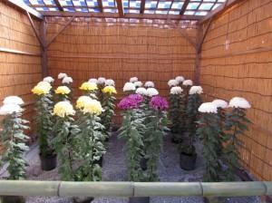 笠間の菊まつりの立菊が3株見事に咲いています