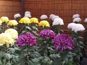 笠間の菊まつりの立菊