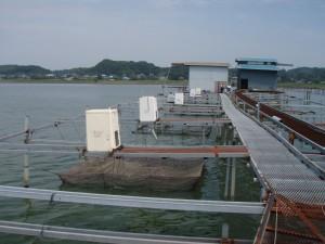 霞ヶ浦でイチョウガイやカラスガイなどを養殖している