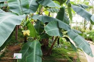 茨城県植物園内の熱帯植物館のモンキーバナナです。