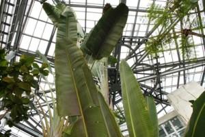 茨城県植物園内の熱帯植物館のオウギバショウです。