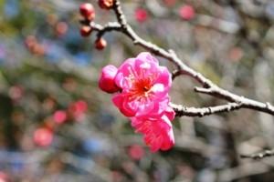 茨城県植物園内の本当に鮮やかなピンク色をした梅です。