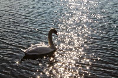 水鳥が飛来する涸沼はラムサール条約の登録を目指しています