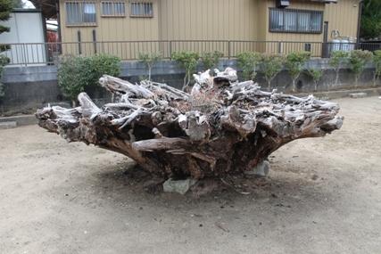 麻生藩家老屋敷記念館庭の巨大な切り株です。