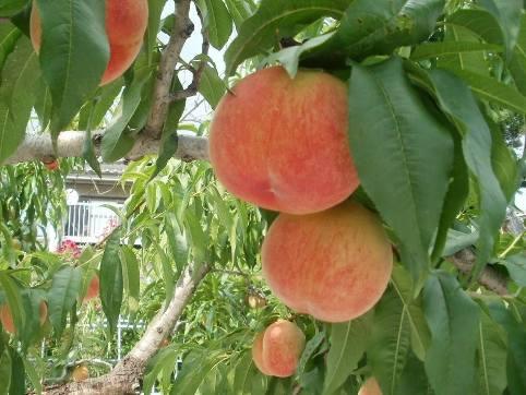 山梨県産の桃