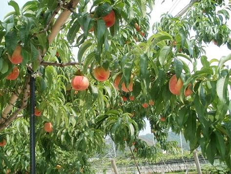 山梨県産の桃畑です