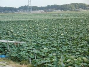 茨城県産のれんこん畑です