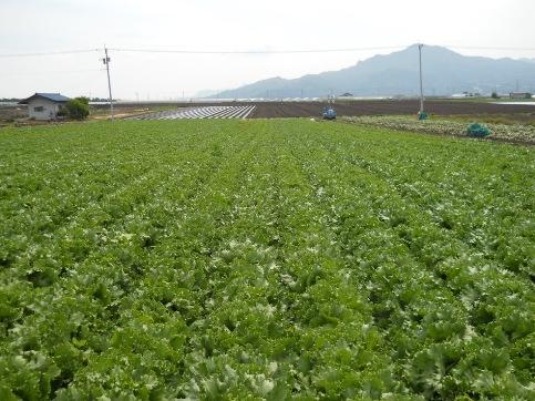 いきの良いシャキシャキレタスの畑です