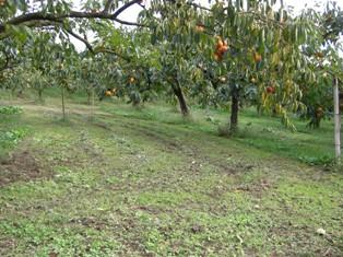 柿の木の下が雑草を確実に除かれて綺麗に保たれている様子