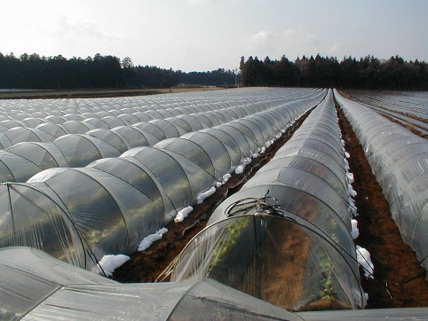新鮮なのごぼうを生産している畑です