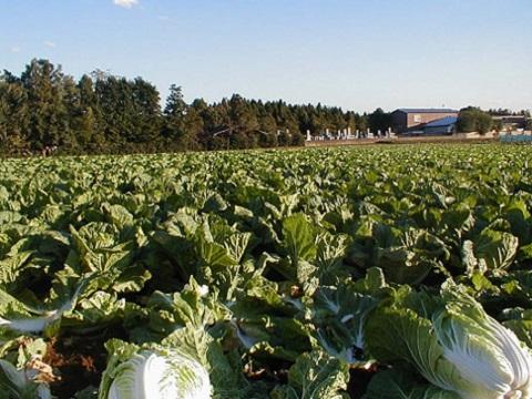 白菜は通年出荷されています。主な産地では、晩秋から年明けの茨城に始まり、その後春間でが兵庫など関西、そして夏は高原の長野です。