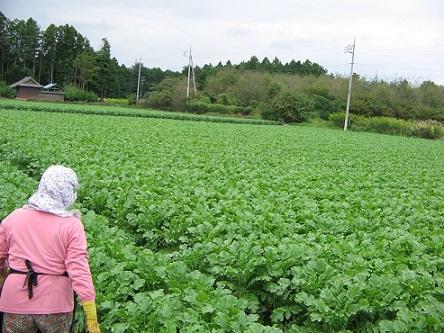 茨城県産の葉付き大根畑です