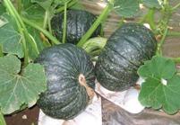 茨城県産のかぼちゃ畑です