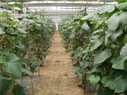 茨城県産きゅうり畑です