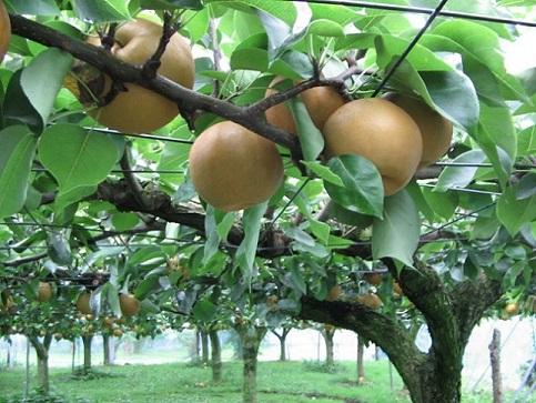 茨城県産の梨畑です